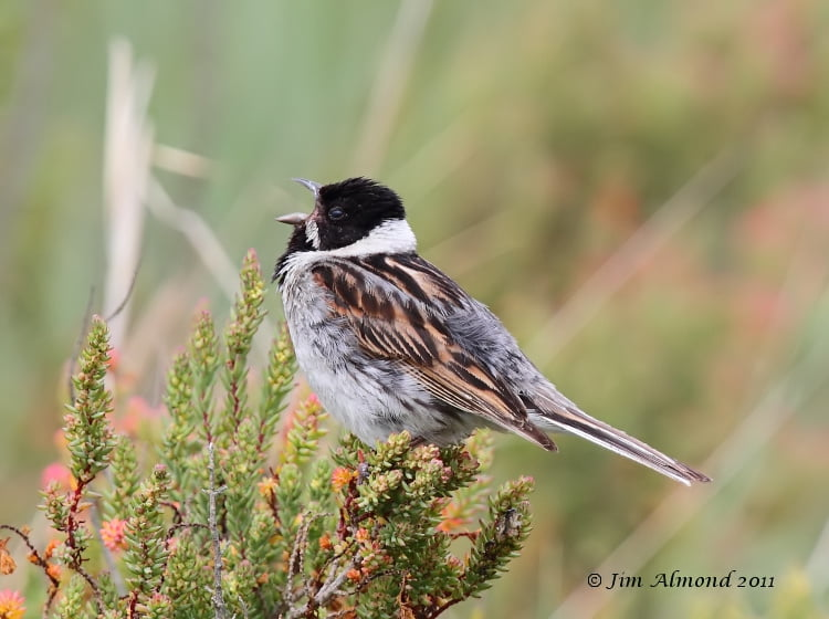 Reed Bunting Emberiza Schoeniclus Explore The Weald Moors