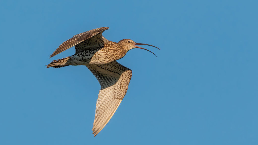 the-curlew -world-curlew-day