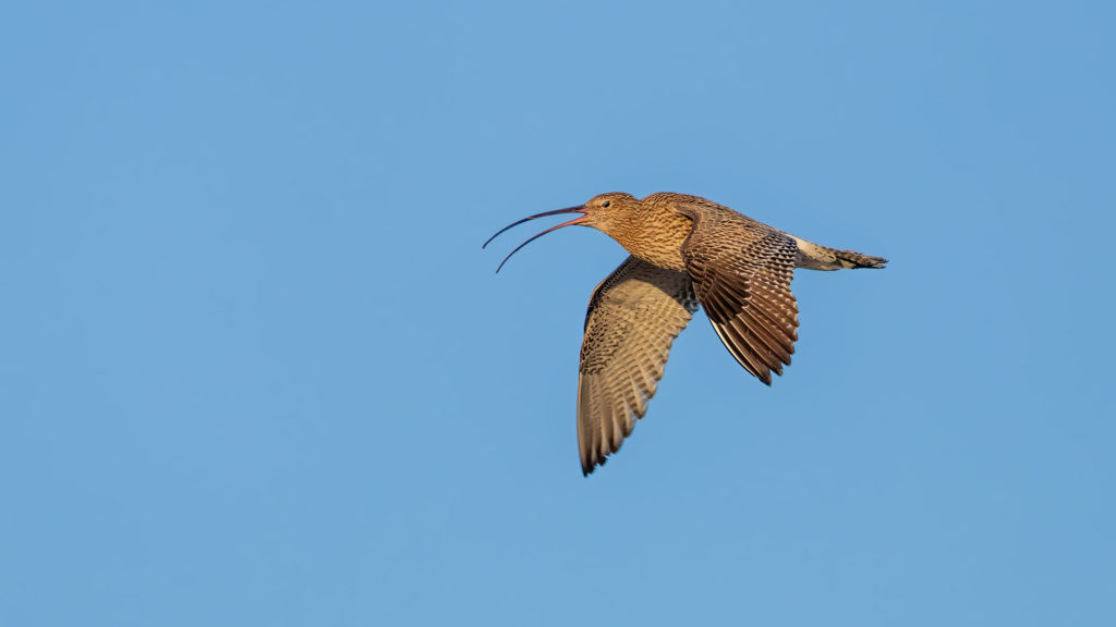 world-curlew-day-the-curlew