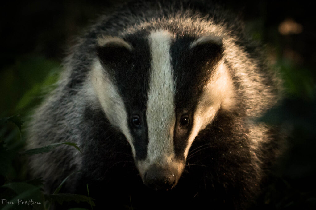 Badger-Weald-Moors