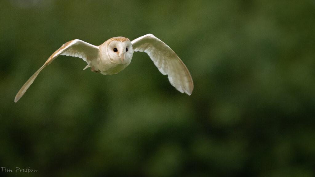Barn-Owl-Weald-Moors-Shropshire